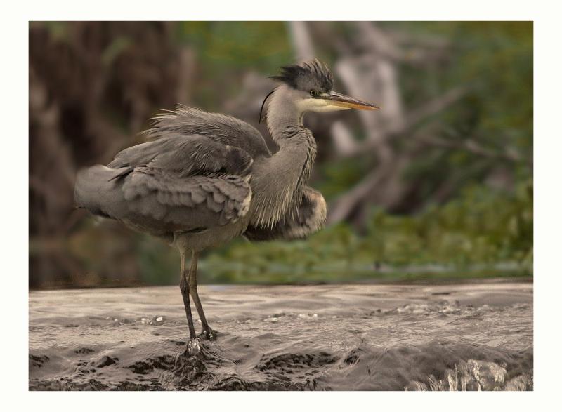 Grey Heron sharpened
