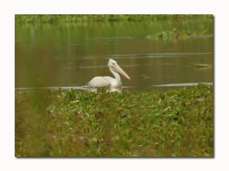 158472196.JyBxbfUK.Pelican
