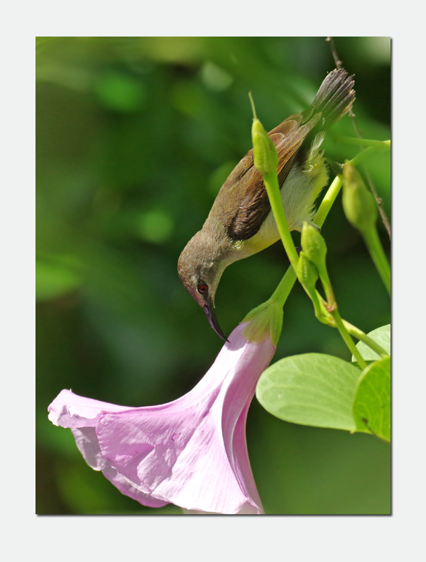 Female Sunbird_edited-1