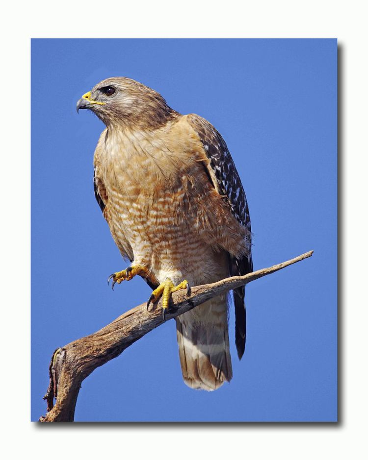 Red - shouldered Hawk