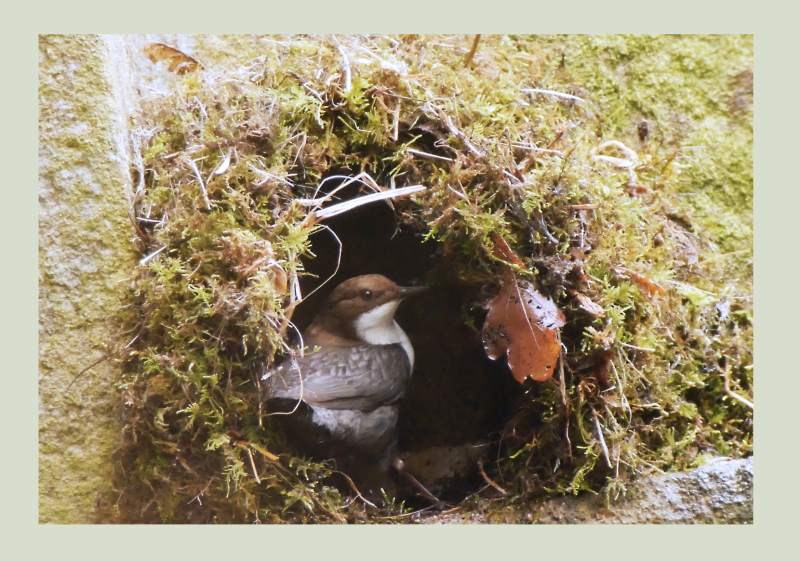 Dippers Nest Building