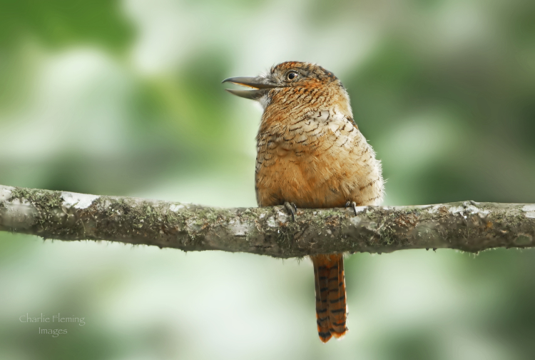 Barred Puffbird a