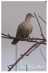 Collared_dove