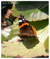 Red_admiral_with_border
