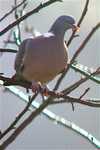 Wood_pigeon_monday