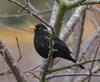 Blackbird_2