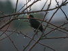Blackbird_in_the_rain_2