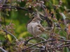 Hen_sparrow_and_clematis_buds