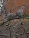 Collared_dove_pair