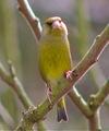 Greenfinch_march_28