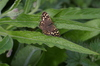 Specled_wood_1