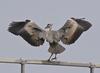 Heron_flaps