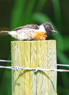 Stonechat_in_the_heat