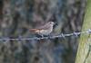 Redstart_hen