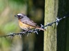 Redstart_male