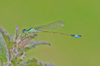 Blue_tailed_damselfly