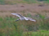 Spoonbill_in_flight