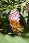 Silver_washed_fritillary_2