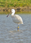 Spoonbill_24th_july