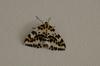 Magpie_moth