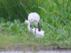 Spoonbill_and_egret