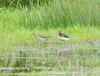 Wood_and_green_sandpiper