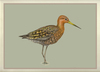 Black_tailed_godwit_framed