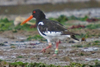 Colour_rung_oystercatcher