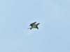 Osprey_friday_5